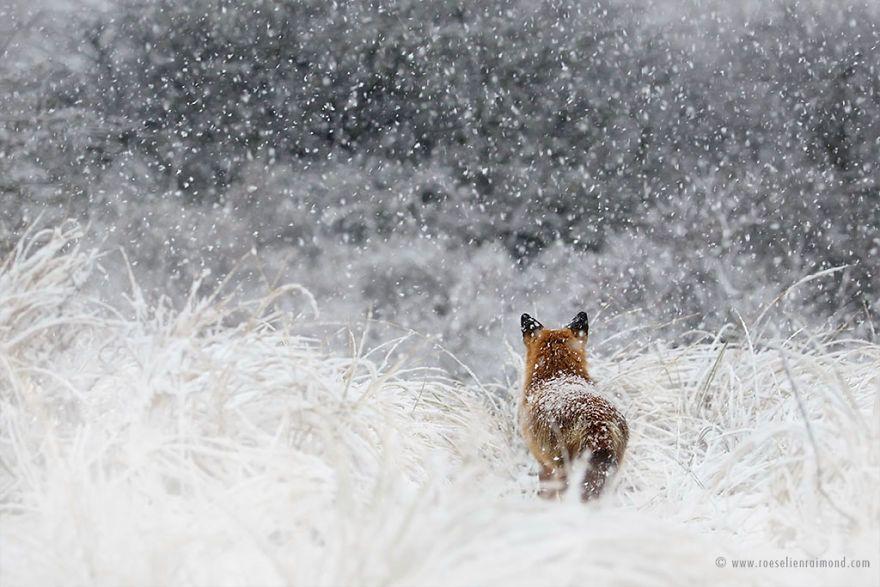 Фотограф показал, как лисы наслаждаются снегом и радуются зиме - фото 358863