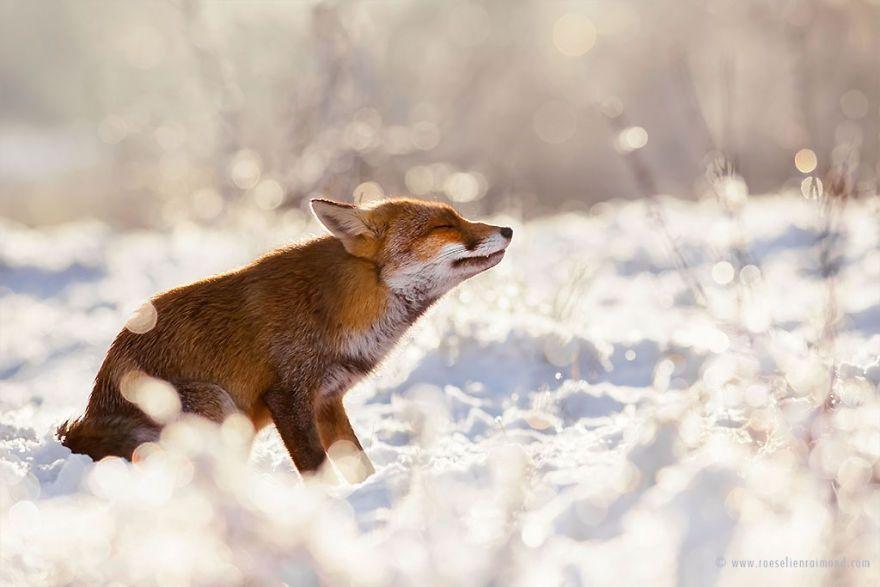 Фотограф показал, как лисы наслаждаются снегом и радуются зиме - фото 358858
