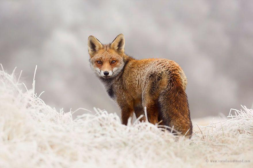 Фотограф показал, как лисы наслаждаются снегом и радуются зиме - фото 358856