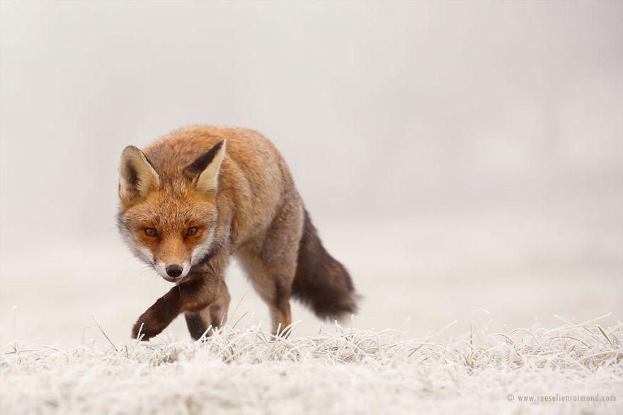 Фотограф показал, как лисы наслаждаются снегом и радуются зиме - фото 358857