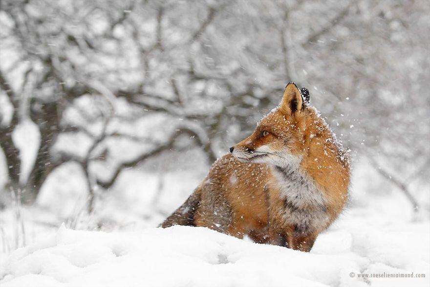 Фотограф показал, как лисы наслаждаются снегом и радуются зиме - фото 358859