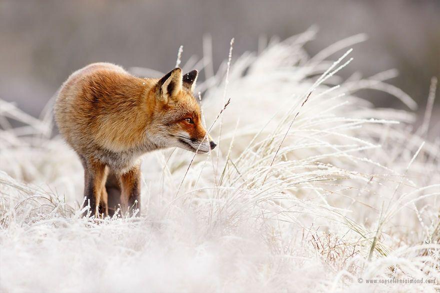 Фотограф показал, как лисы наслаждаются снегом и радуются зиме - фото 358862