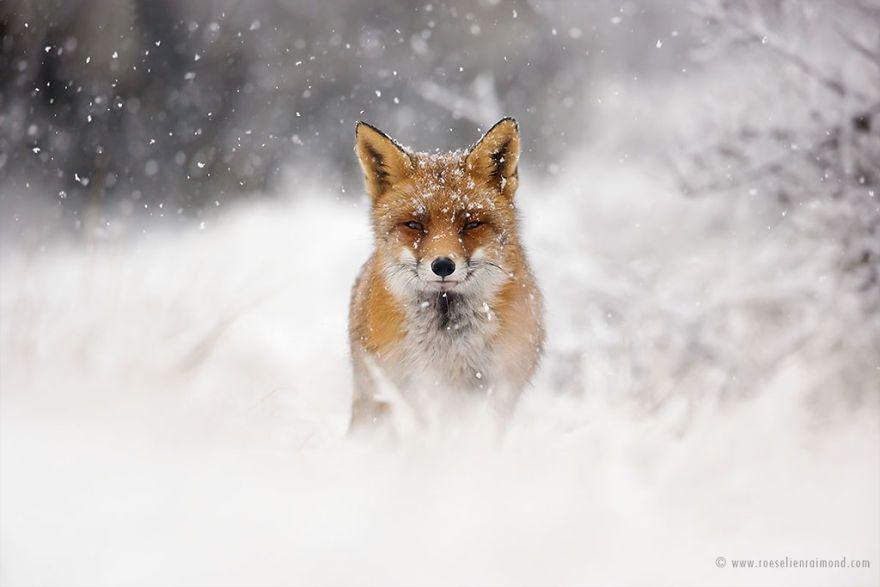 Фотограф показал, как лисы наслаждаются снегом и радуются зиме - фото 358854