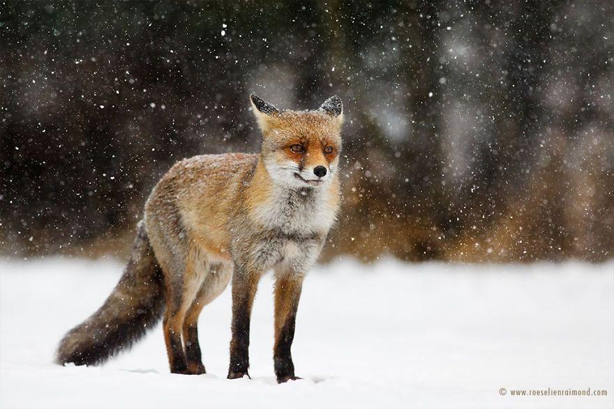Фотограф показал, как лисы наслаждаются снегом и радуются зиме - фото 358864