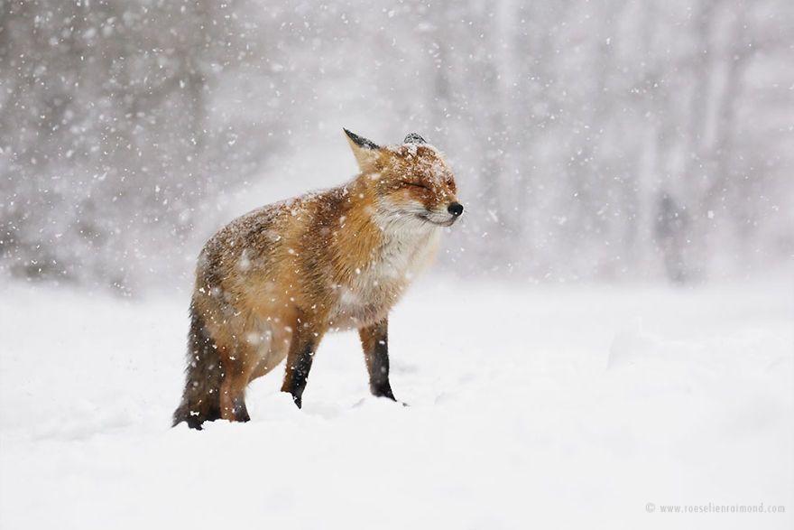 Фотограф показал, как лисы наслаждаются снегом и радуются зиме - фото 358855