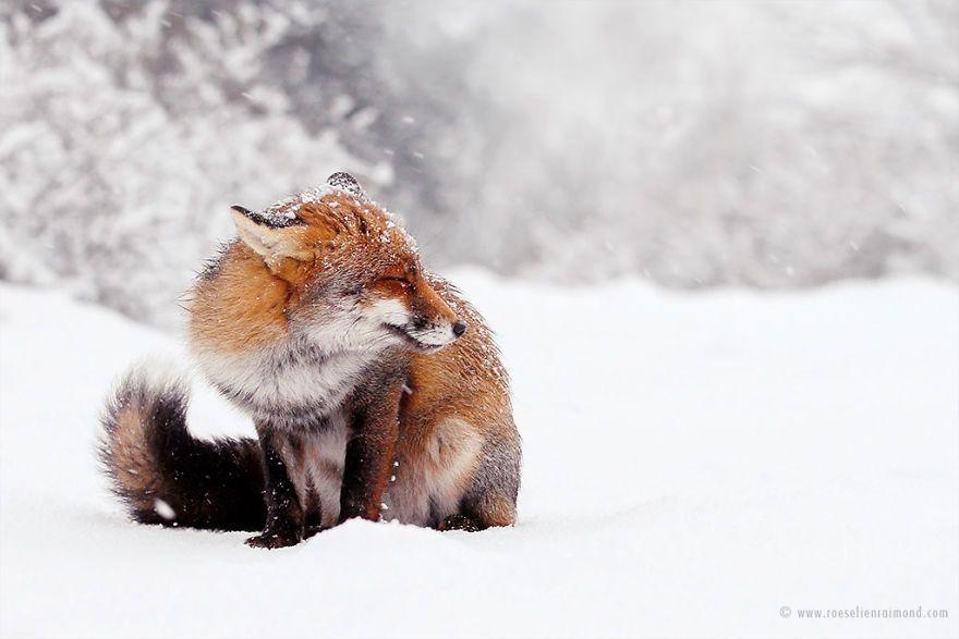 Фотограф показал, как лисы наслаждаются снегом и радуются зиме - фото 358853