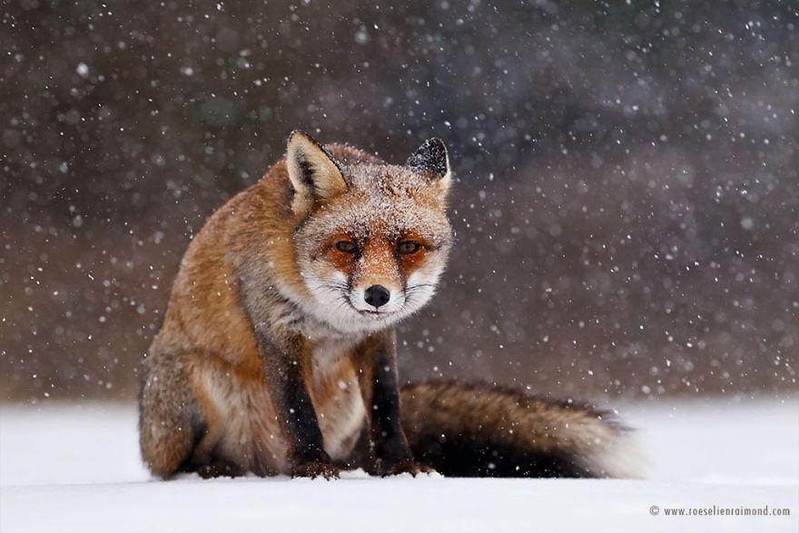 Фотограф показал, как лисы наслаждаются снегом и радуются зиме - фото 358860