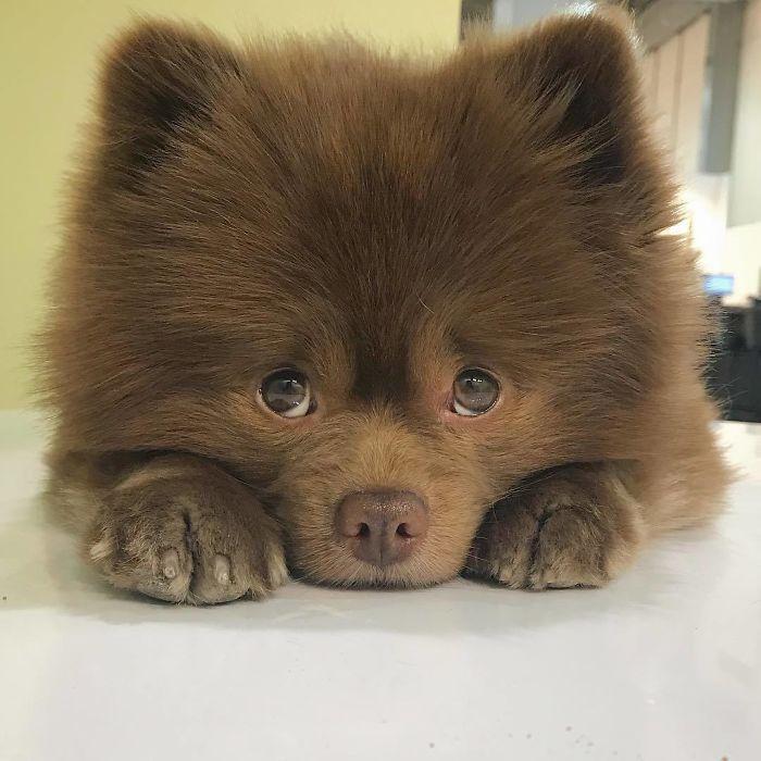 Чарівний песик з харизмою ведмедика став зіркою мережі - фото 395742